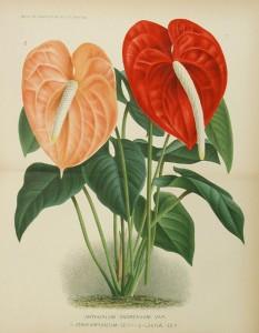 19432.Araceae - Anthurium andraeanum