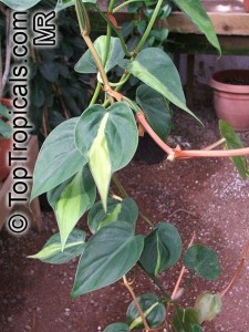 Philodendron_scandens6582