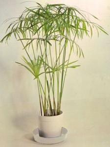 cyperus.alternifolius