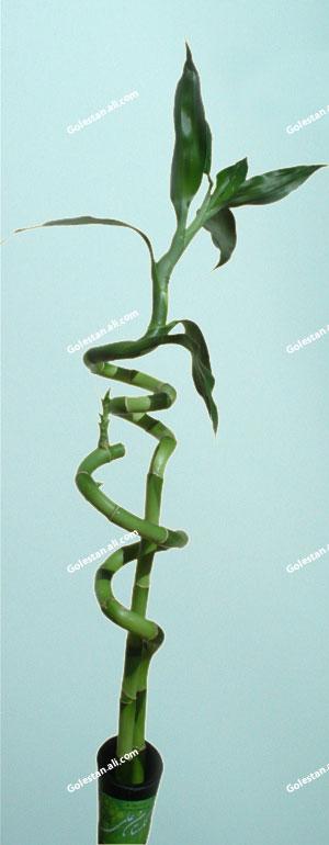 lucky-bamboo-golestan-ali