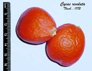[عکس: Cycas_revoluta_seeds.jpg]